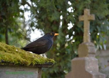 Friedhofsamsel