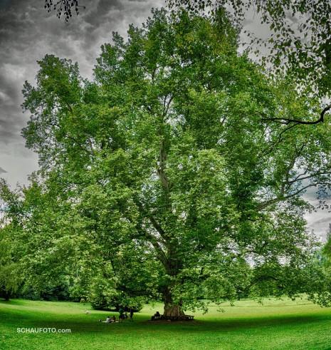 Der drittgrößte Baum Deutschlands.