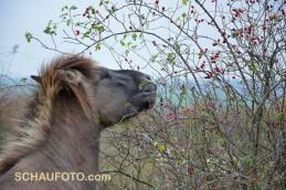 Noch nie gesehen: Ein Hagebutten fressendes Pferd.