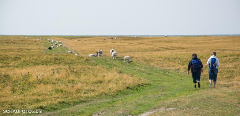 Schafe mögen Menschenwege.