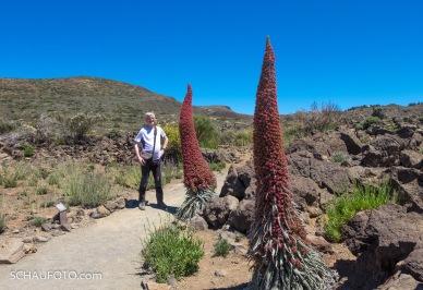 Roter Teide-Natternkopf (Echium wildpretii)