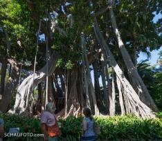 Dieser Riesenbaum hat einen ganz gewöhnlichen Namen: Großblättrige Feige